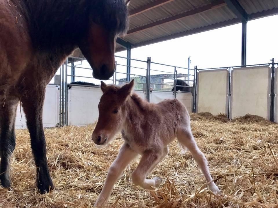 Gestatten: Das erste 2017er Kronshof-Fohlen ist geschlüpft!