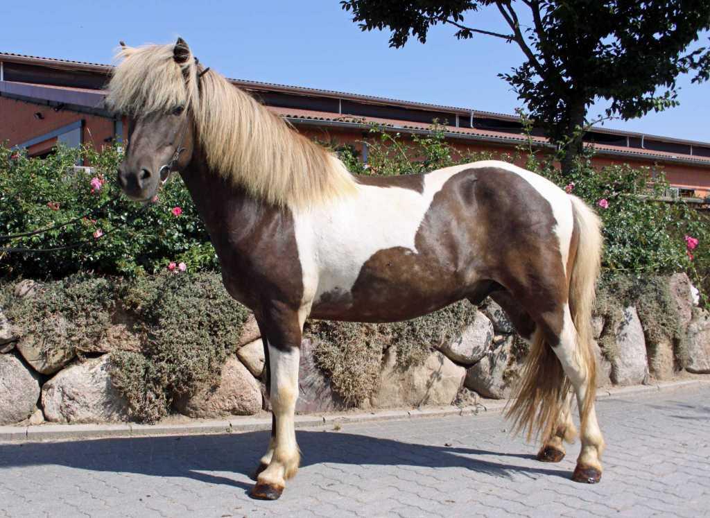 Verkaufspferd Eilifur von Welkensiek