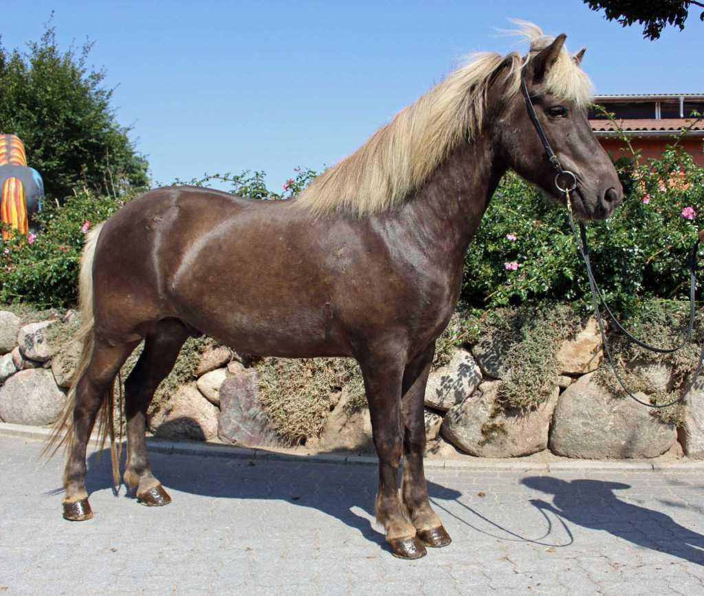 Verkaufspferd Jómar von Welkensiek