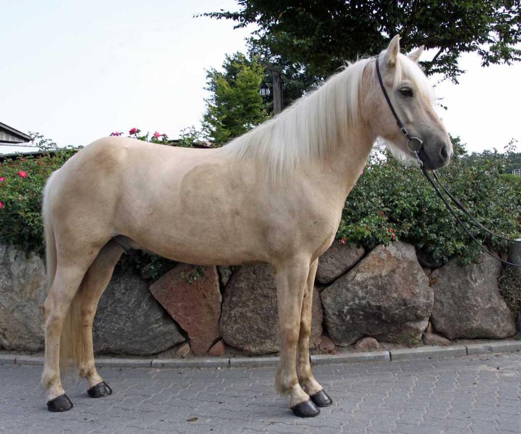 Verkaufspferd Júni vom Kronshof