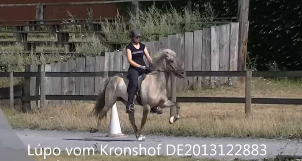 Verkaufspferd Lúpo vom Kronshof