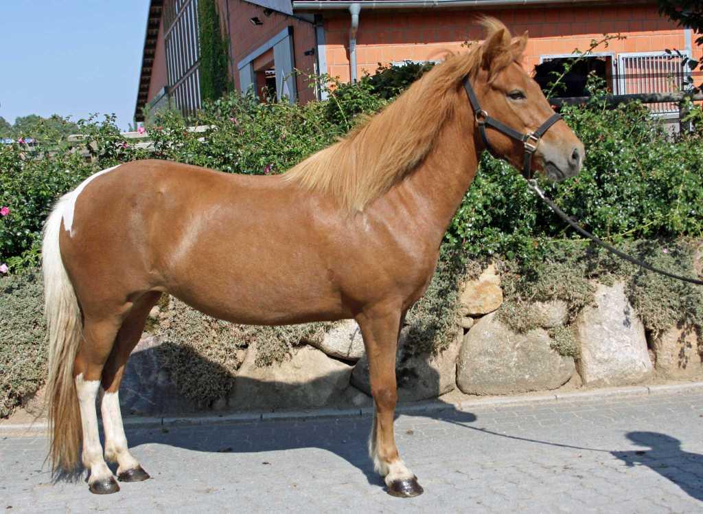 Verkaufspferd Perla von Welkensiek