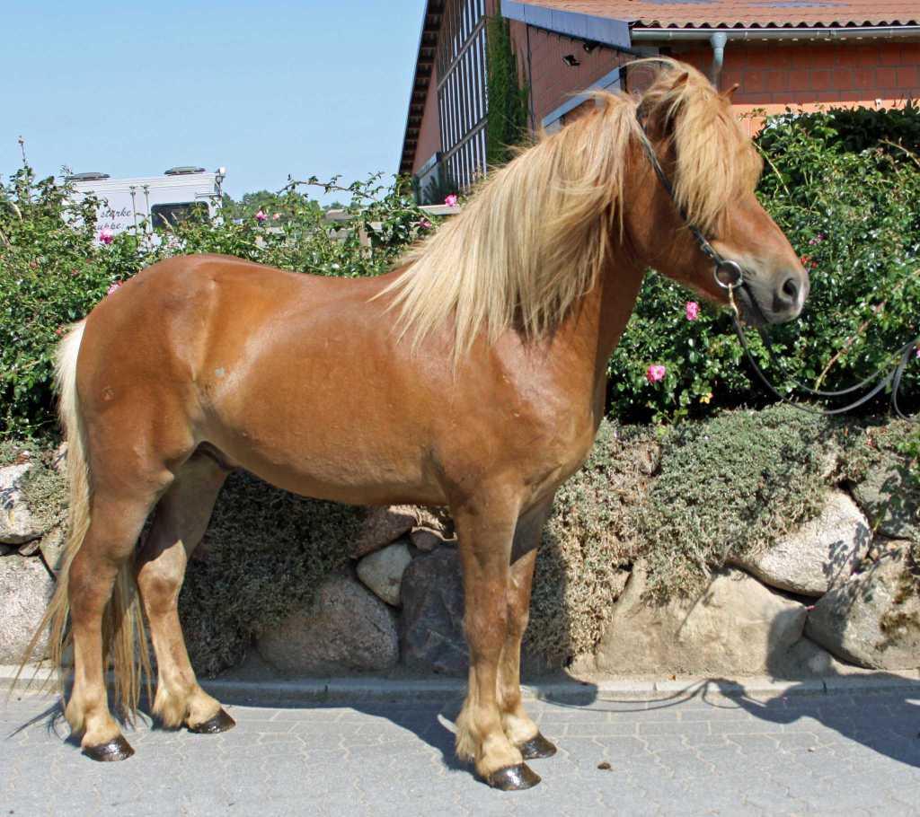 Verkaufspferd Yngvi von Welkensiek