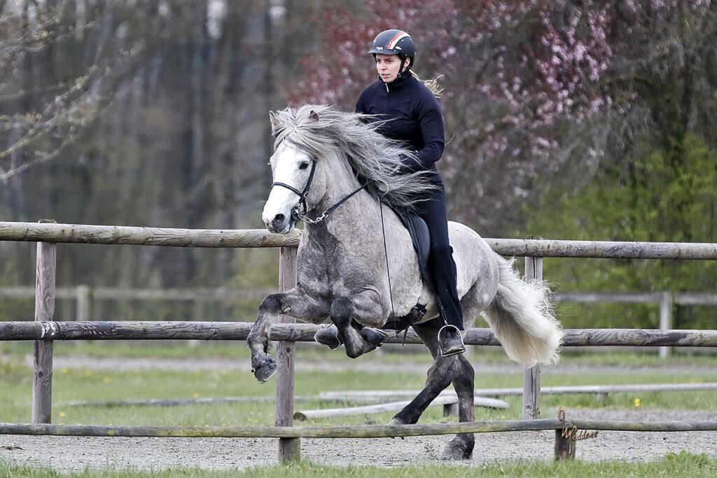 Verkaufspferd Ófeigur vom Kronshof