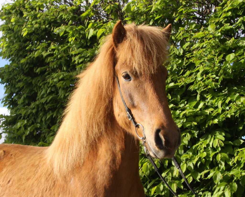 Verkaufspferd Ófeig vom Kronshof
