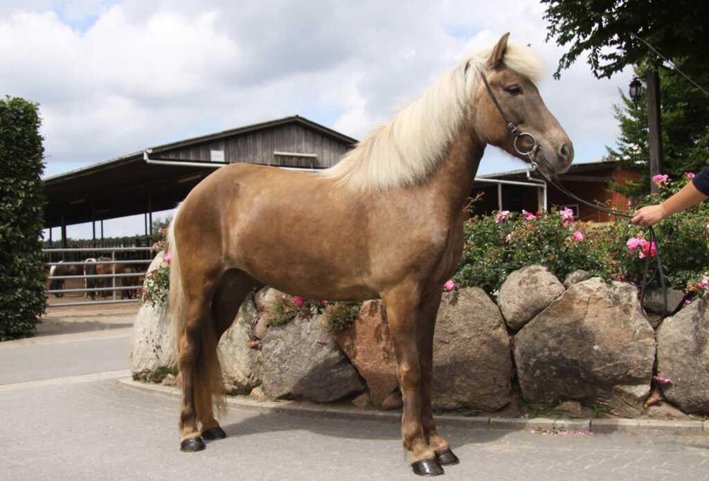 Verkaufspferd Menja von Rinkscheid