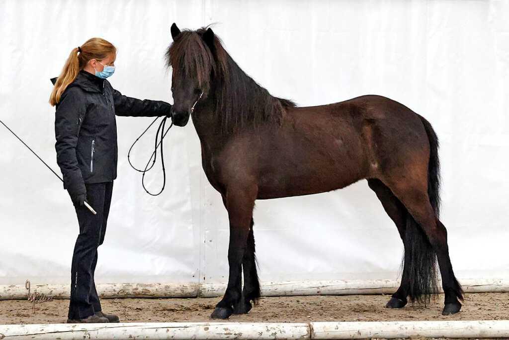Verkaufspferd Náttrún vom Kronshof