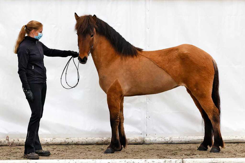 Verkaufspferd Ósk vom Kronshof